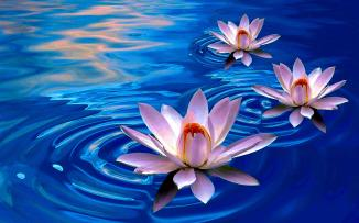 lotus-flower-first-choice