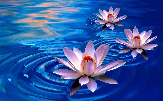 lotus-flower-first-choice